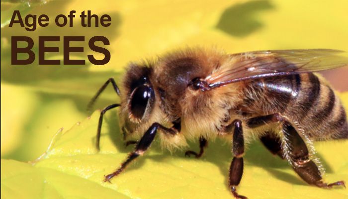 Age of the Bees, How Long Bees Live For?