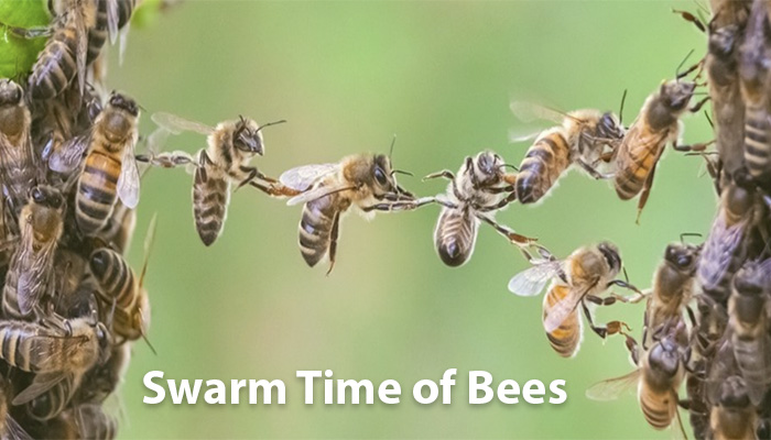 When do Bees Swarm Time of year?